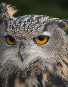 Head Of Eagle Owl Royalty Free Stock Images