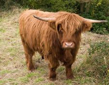 Free Highland Cattle Royalty Free Stock Images - 3569559