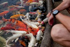 Free Feeding Fish Stock Photography - 35601632