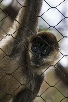 Free Monkey Starring Through Cage Royalty Free Stock Images - 35606559