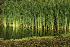 Free Reeds By The River Stock Image - 35606601