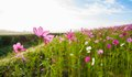 Free The Cosmos Flower  Field Stock Photography - 35613242