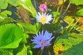 Free Close Up Lotus Flower Royalty Free Stock Images - 35618429