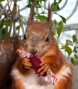 Free Red Squirrel Royalty Free Stock Photography - 35619387