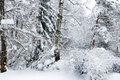 Free Winter Trees Covered With Snow In The Forest . Royalty Free Stock Photo - 35619975