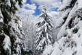 Free Winter Trees Covered With Snow In The Forest . Royalty Free Stock Image - 35619986