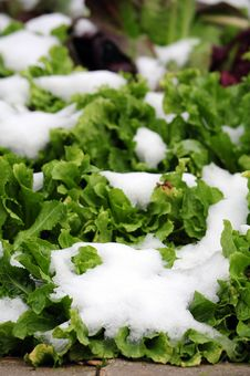 Free Snow Covered Lettuce Stock Photo - 35612980