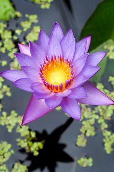 Free Lotus Flower Stock Image - 35613121