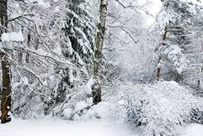 Winter Trees Covered With Snow In The Forest . Royalty Free Stock Photo