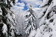 Winter Trees Covered With Snow In The Forest . Royalty Free Stock Image