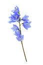 Free Blue Wildflower Royalty Free Stock Image - 35620496