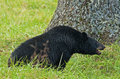 Free A Large Black Bear Eats Walnuts On The Ground. Royalty Free Stock Photo - 35628075