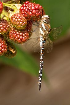 Free Dragonfly In Action Royalty Free Stock Images - 35620049
