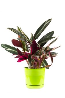 Free Plant In Green Pot Royalty Free Stock Photography - 35622457