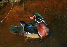 Free Mallard Duck Aix Galericulata Royalty Free Stock Image - 35622686