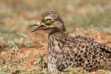 Spotted Dikkop Or Cape Thick-knee Royalty Free Stock Photography