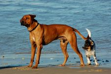 Dogs On The Beach Royalty Free Stock Photography