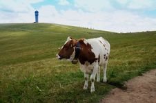 A Brown And White Cow On The Feldberg Stock Photo