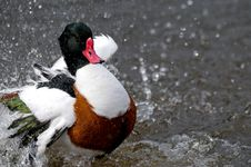 Duck Splashing Water Stock Photo