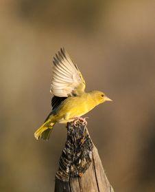 Free Juvenile Yellow Weaver Royalty Free Stock Photo - 35624055