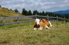 Free Cows In The Black Forest Royalty Free Stock Image - 35624136