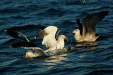 Free Seagulls On Ocean Wave Stock Photo - 35624220