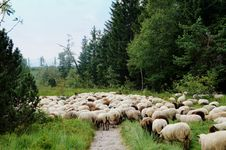 Free Sheep Cross A Hiking Trail Royalty Free Stock Image - 35624326