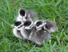 Free Four Cute Grey Ducklings Royalty Free Stock Image - 35624366