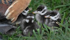 Free Ducklings Under Mothers Wing Royalty Free Stock Photos - 35624388