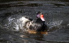 Purple And Black Duck In Spray Of Water Royalty Free Stock Image