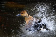 Free Brown Duck Emerging From Water Spray Royalty Free Stock Photo - 35624515