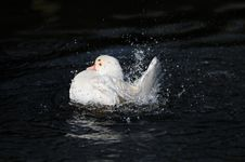 White Duck Splashing Stock Image