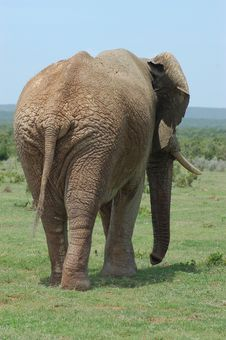 Free Elephant Behind Stock Photography - 35624592
