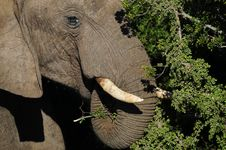 Elephant Head Close Up Stock Images
