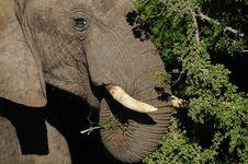 Free Elephant Head Close Up Stock Images - 35624664