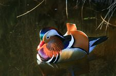 Free Colourful Mandarin Duck Stock Photography - 35624982