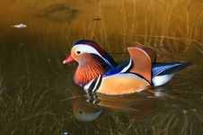 Free Colorful Mandarin Duck Stock Images - 35625014