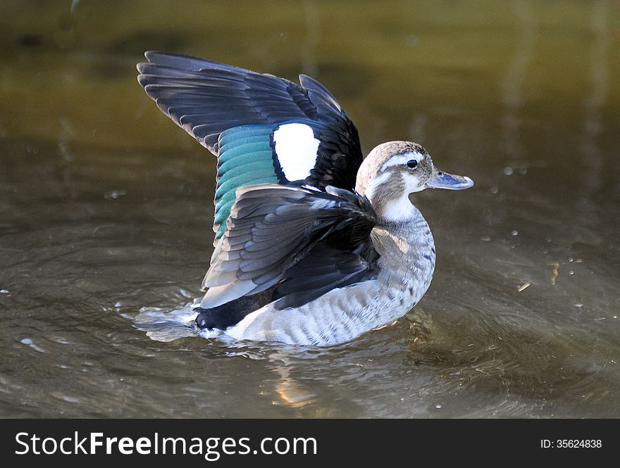Duck with wings spread