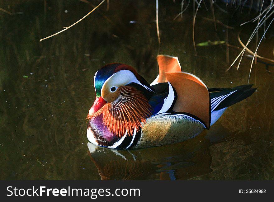 Colourful Mandarin Duck