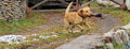 Free Labrador Royalty Free Stock Photo - 35633285
