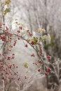 Free Briars Fruit And Freezing Fog Stock Photo - 35639890