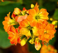 Free Fibrous Begonia Stock Images - 35632974