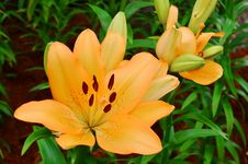 Free Lily Royalty Free Stock Photo - 35633105