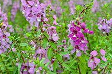 Salvia Nemarosa Royalty Free Stock Photo