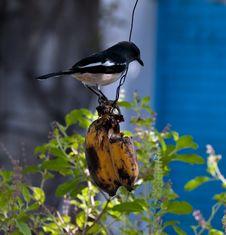 Free Bird Eating Banana Royalty Free Stock Photo - 35634955