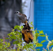 Free Bird Eating Banana Stock Image - 35635001