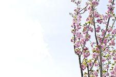 Free Pink Prunus Kanzan Flowers Royalty Free Stock Photos - 35635818