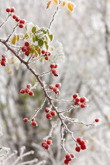 Free Briars Fruit And Freezing Fog Stock Photo - 35639970