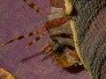 Free Zebra Lionfish Royalty Free Stock Photography - 35648657