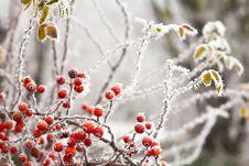 Free Briars Fruit And Freezing Fog Royalty Free Stock Photo - 35640165